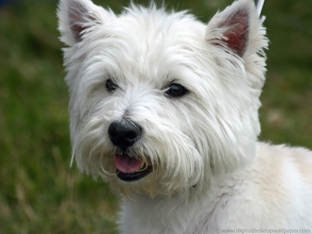 Westie!  My favorite dog breed!