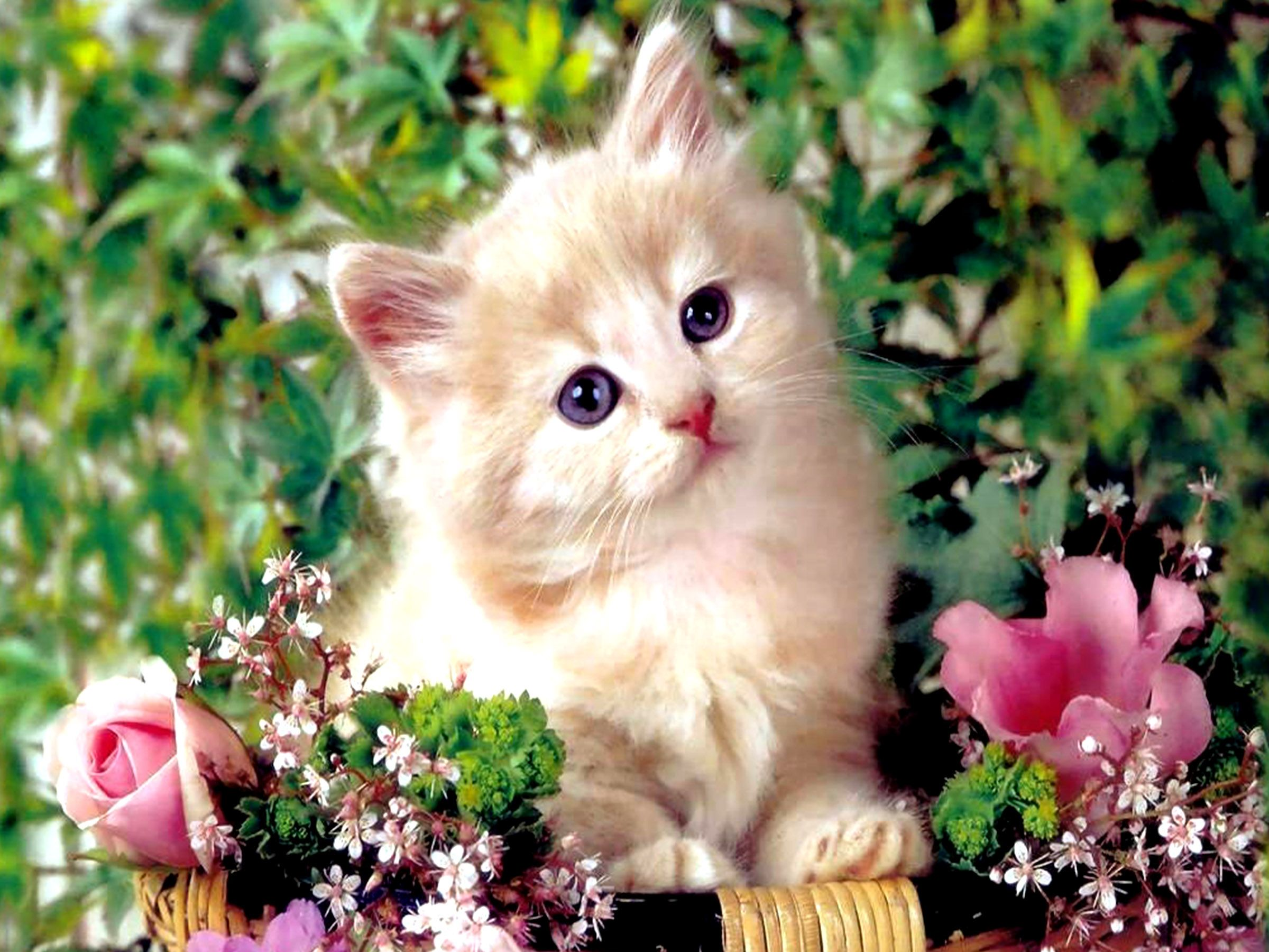 persian cat hd wallpapers backgrounds wallpaper | hd wallpapers