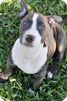 Pin By Karen Carden On Animal Rescue Pitbull Terrier Pitbulls Pets