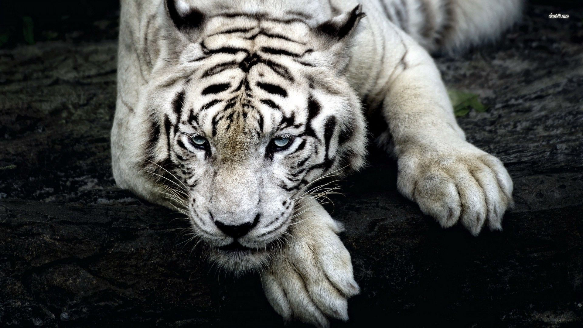 white tiger hd desktop wallpaper widescreen high definition 1920