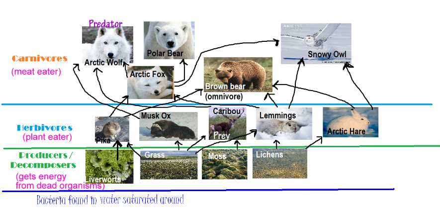 Arctic Tundra Food Chain Tundra Food Web Biology