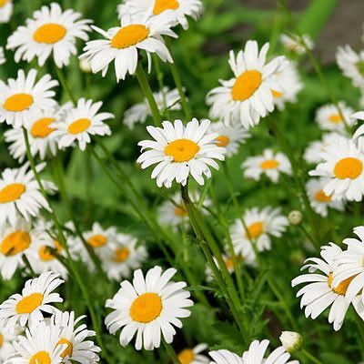 Chamomile | Candle containers, Candle making business ...