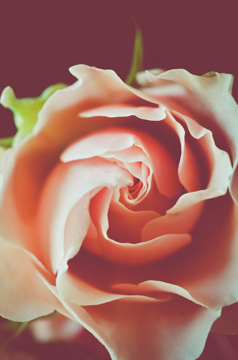 Pink Flower Photography Blush Pink Rose Floral Inlightimagery