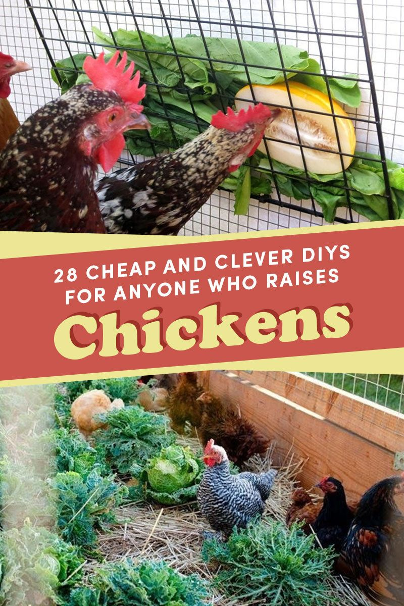 28 Cheap And Clever DIYs For Anyone Who Raises Chickens is part of Chicken diy, Diy chicken coop, Chicken coop, Pet chickens, Chicken roost, Chicken toys - You'll rule the roost with these DIY treats and boredom busters