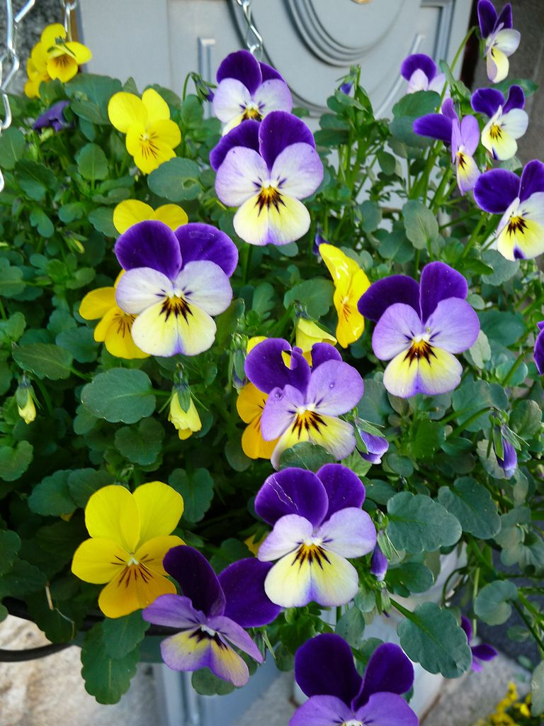 violettes cornues en pot en jardini re en suspension. Black Bedroom Furniture Sets. Home Design Ideas