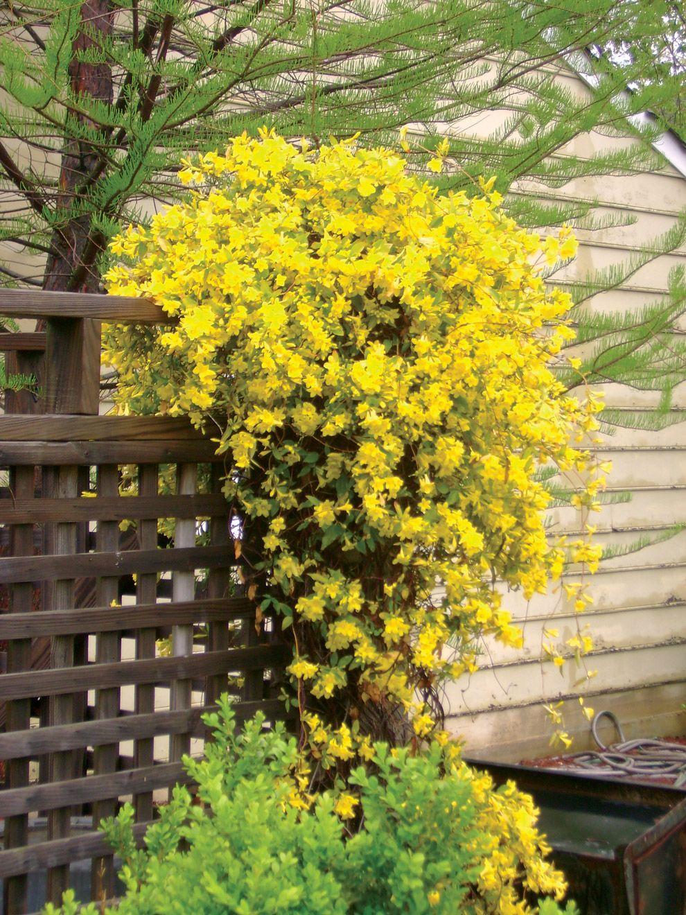 Carolina jasmine to cover up my fence plant love pinterest carolina jasmine to cover up my fence izmirmasajfo