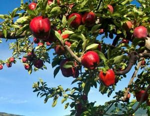 Dwarf Red Delicious Apple Tree Red delicious apples