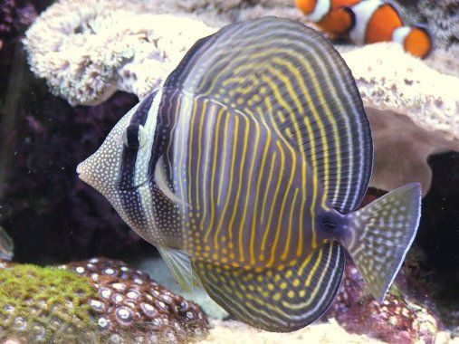 Sailfin Tang Images Jpg 507 380 Reef Safe Fish Aquarium Fish Tank Sea Fish