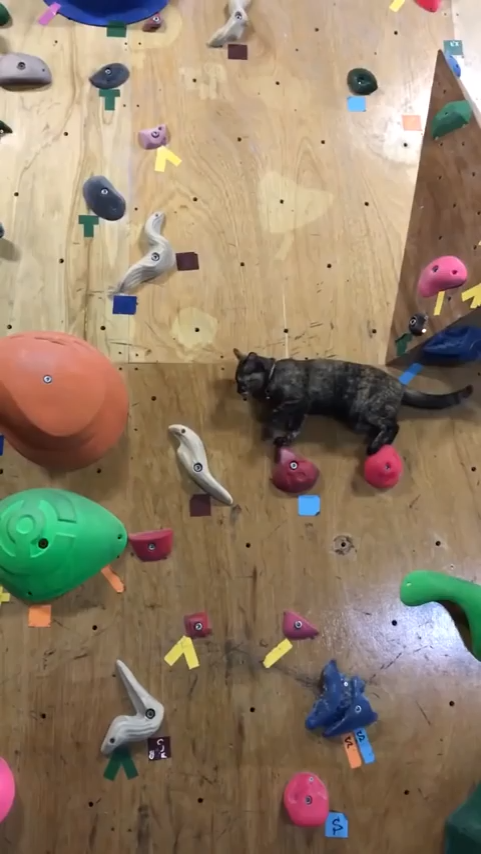 Cat climbing rock wall #cutecreatures