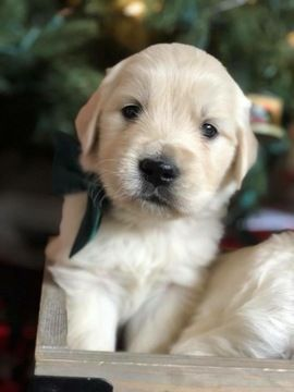 Litter Of 8 Golden Retriever Puppies For Sale In Stratford Ct
