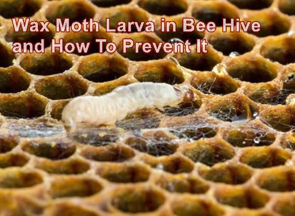420e2c475c21ffcd19cf8039bb76c579 - How To Get Rid Of Small Hive Beetle Larvae