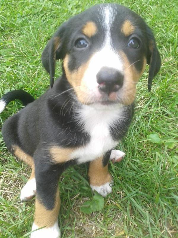 Appenzeller Sennenhund Welpen Sennenhund Appenzeller Sennenhund