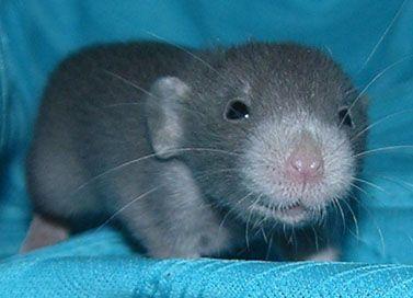 russian blue dumbo | Cute Animals | Pet rats, Dumbo rat ...