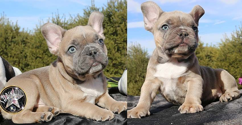 Shrinkabulls French Toast Lilac Sable Or Champagne French Bulldog
