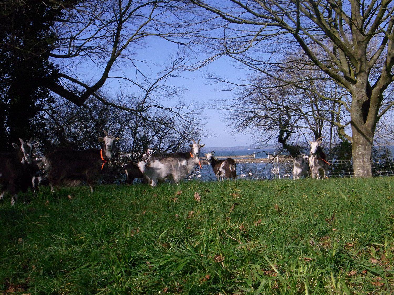 Chèvres à la Ferme des Plomarc'h Crédit photo : ferme des Plomarc'h  #chevreaux #plomarch #Douarnenez