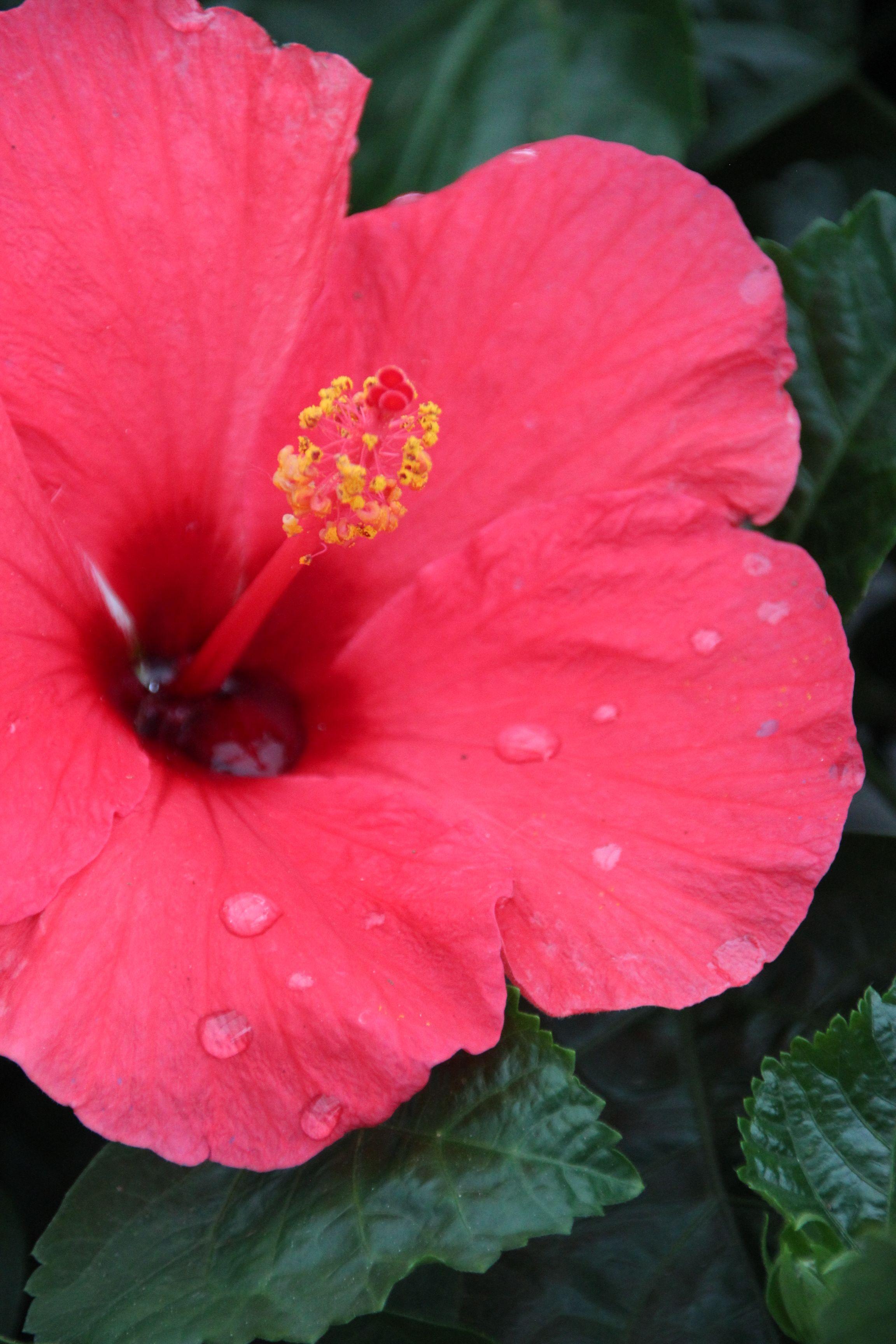 Hibiscus Plant Nursery Plants Growing Herbs Indoors