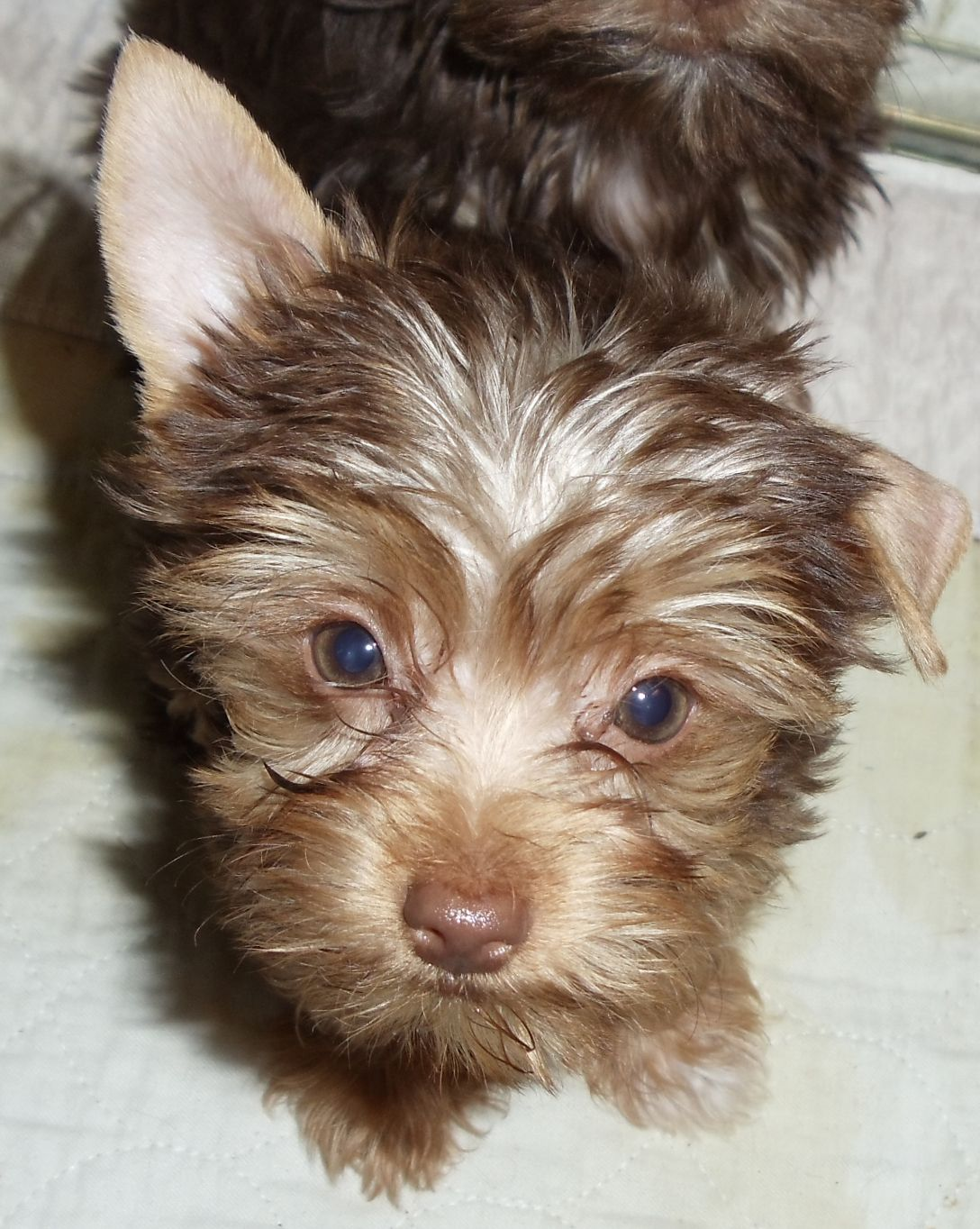 Little Miss Snickers Smarty Pants Darling Teacup Yorkie Puppy