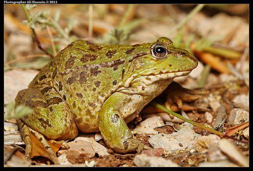 ضفدع كبير Big Frog Frog Cool Pictures Pics