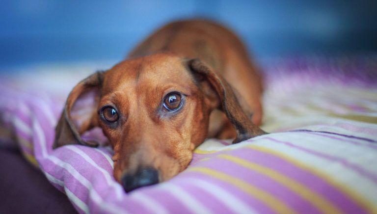 Normal Dog Vomit Or Danger Sign Gastritis Symptoms Causes And