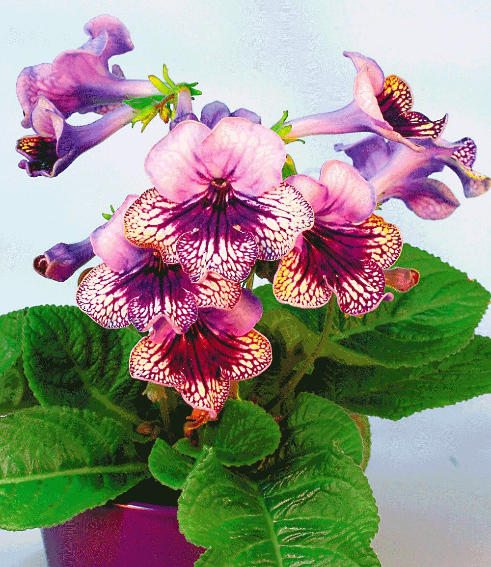 Streptocarpus 39 harlequin lace 39 cape primrose for Zimmerpflanzen dekorativ