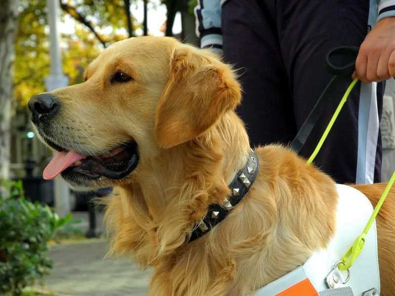 The Cuddly Tail of Guide Dogs Guide dog, Service dogs