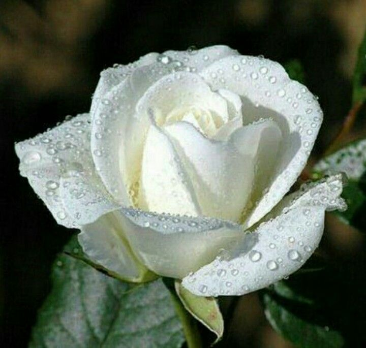 Wintery White Rose White Roses Are The Ultimate Symbol Of Purity