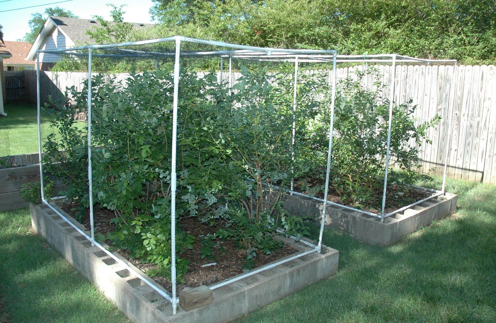 Raised Bed For Blueberries With Bird Netting Garden