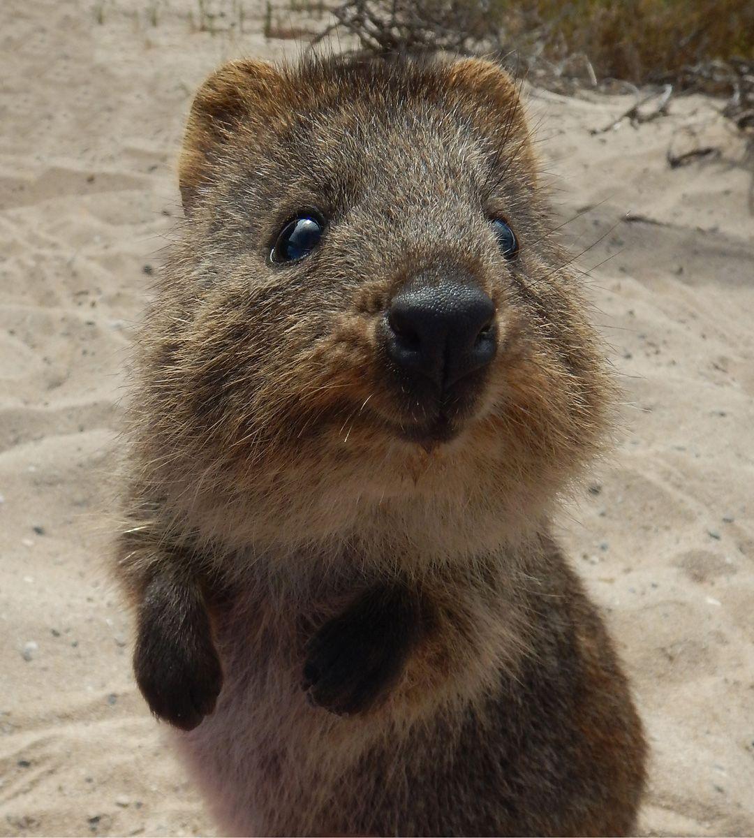 Quokka on Rottnest Island, Western Australia. Ideas for