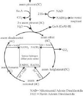 Tabel perbedaan anabolisme dan katabolismeperbedaan anabolisme dan tabel perbedaan anabolisme dan katabolismeperbedaan anabolisme dan katabolisme dalam bentuk tabelperbedaan anabolisme ccuart Image collections