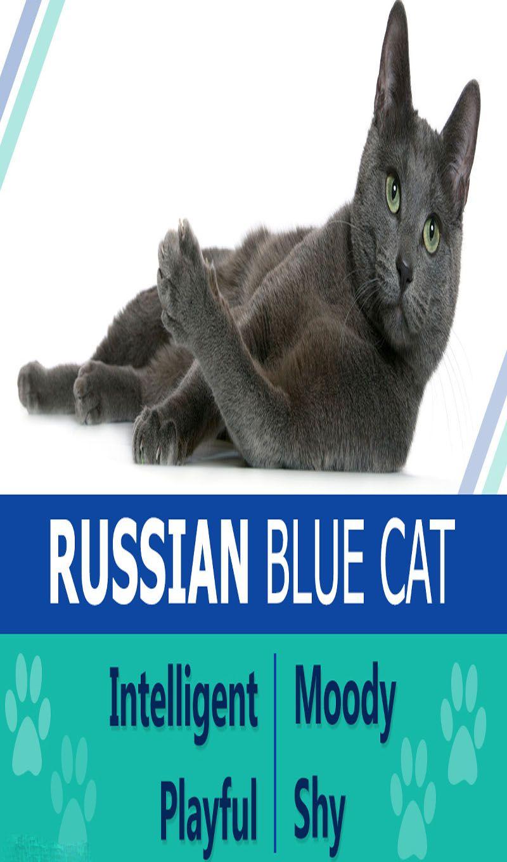 Russian Blue Cats Cat Guides Russian blue cat, Russian