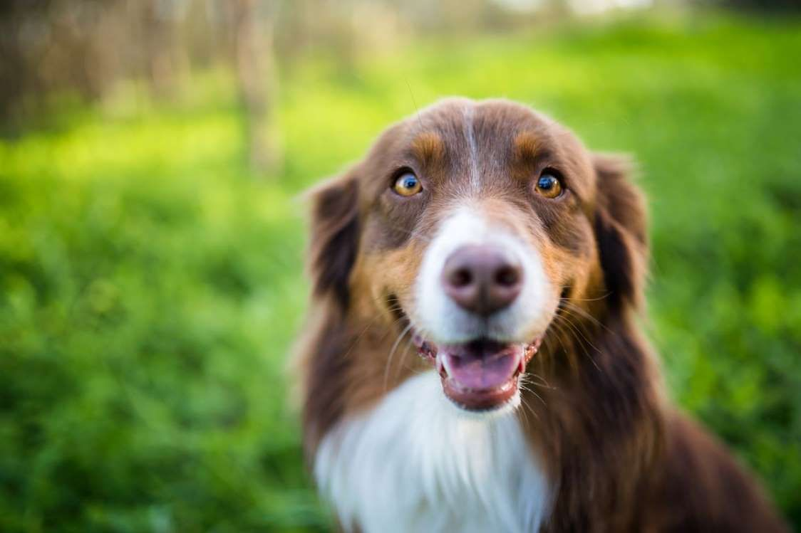 22 Healthiest Dog Breeds With Long Lifespans Australian Shepherd Healthiest Dog Breeds Shepherd Puppies