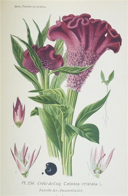 Amaranthe Crete De Coq 1896 Bois Desire Atlas Des Plantes De