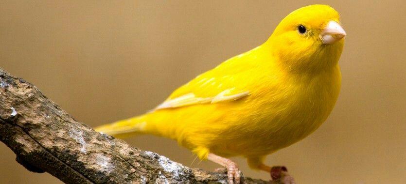 kanarienvogel gelb tines v gel pinterest v gel kanarienvogel und wellensittich. Black Bedroom Furniture Sets. Home Design Ideas
