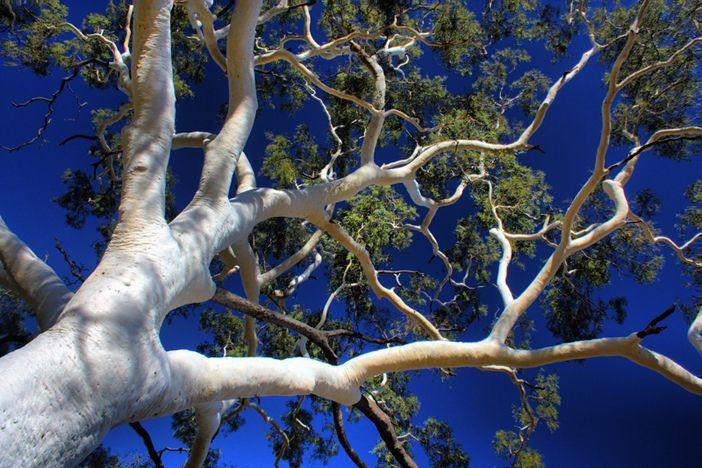 Bark Ghost Gum Australian Trees Beautiful Tree Australian