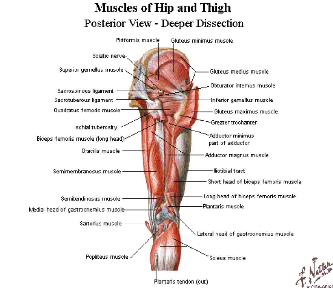 Posterior aspect of the hip - Netter | Anatomy | Pinterest