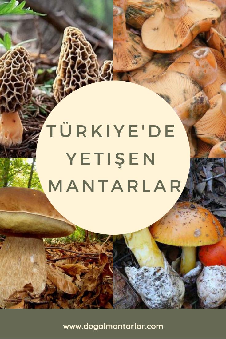 Mantar Canterelle sever misin Kış için hasat farklı olabilir 6