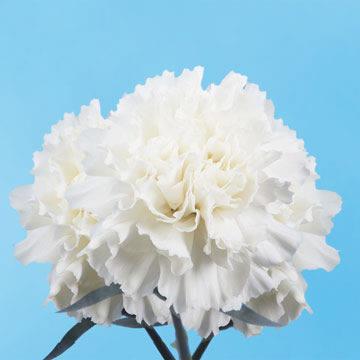 Fresh White Carnations White Carnation Carnation Flower Carnations