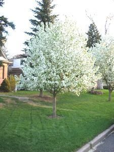 Spring Snow Crab Apple Tree Backyard Landscaping Ideas Backyard Landscaping Crabapple Tree White Flowering Trees