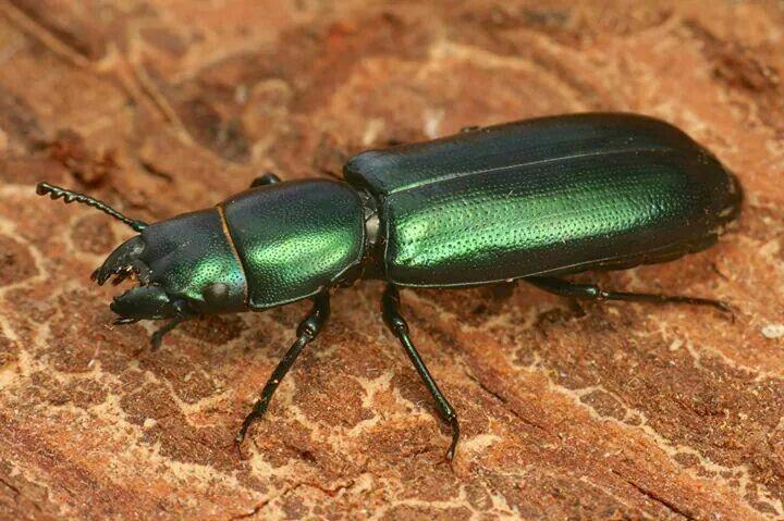 Beetle - Arthur Evans