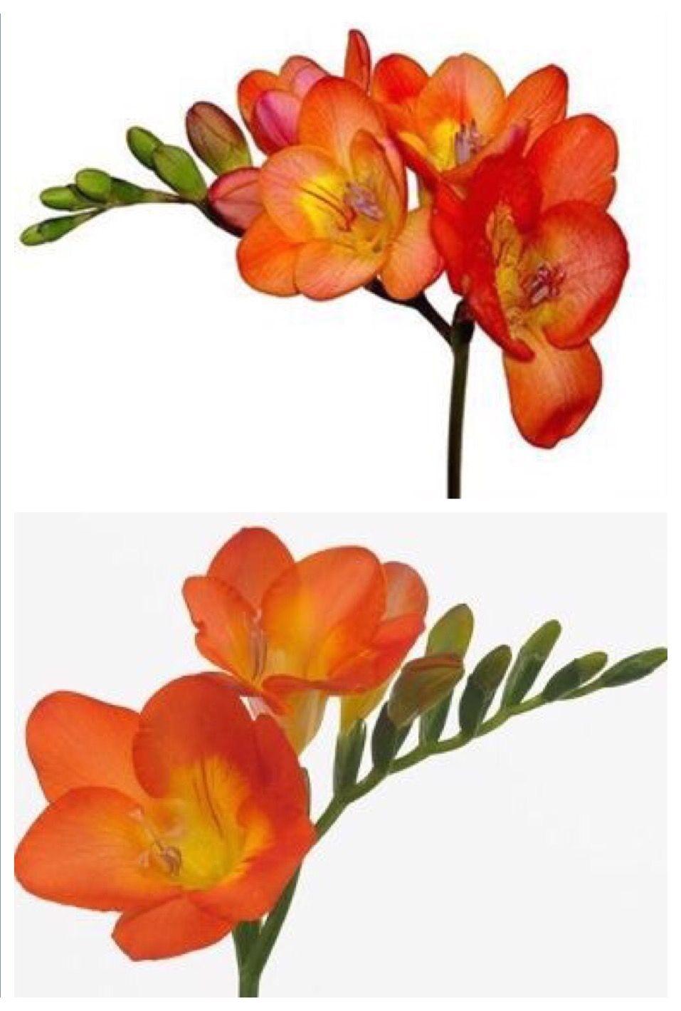 Freesia Color Freesia Flowers Botanical Flowers Botanical Art