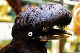 Pájaro Paraguas Cephaloterus penduliger Selvas tropicales de Centro América del Sur; Endémica del Corredor del Chocó en Ecuador.