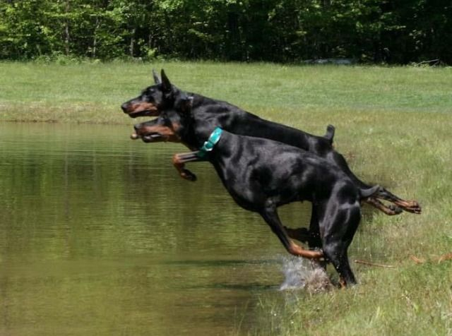 Dobermans aggressive forum
