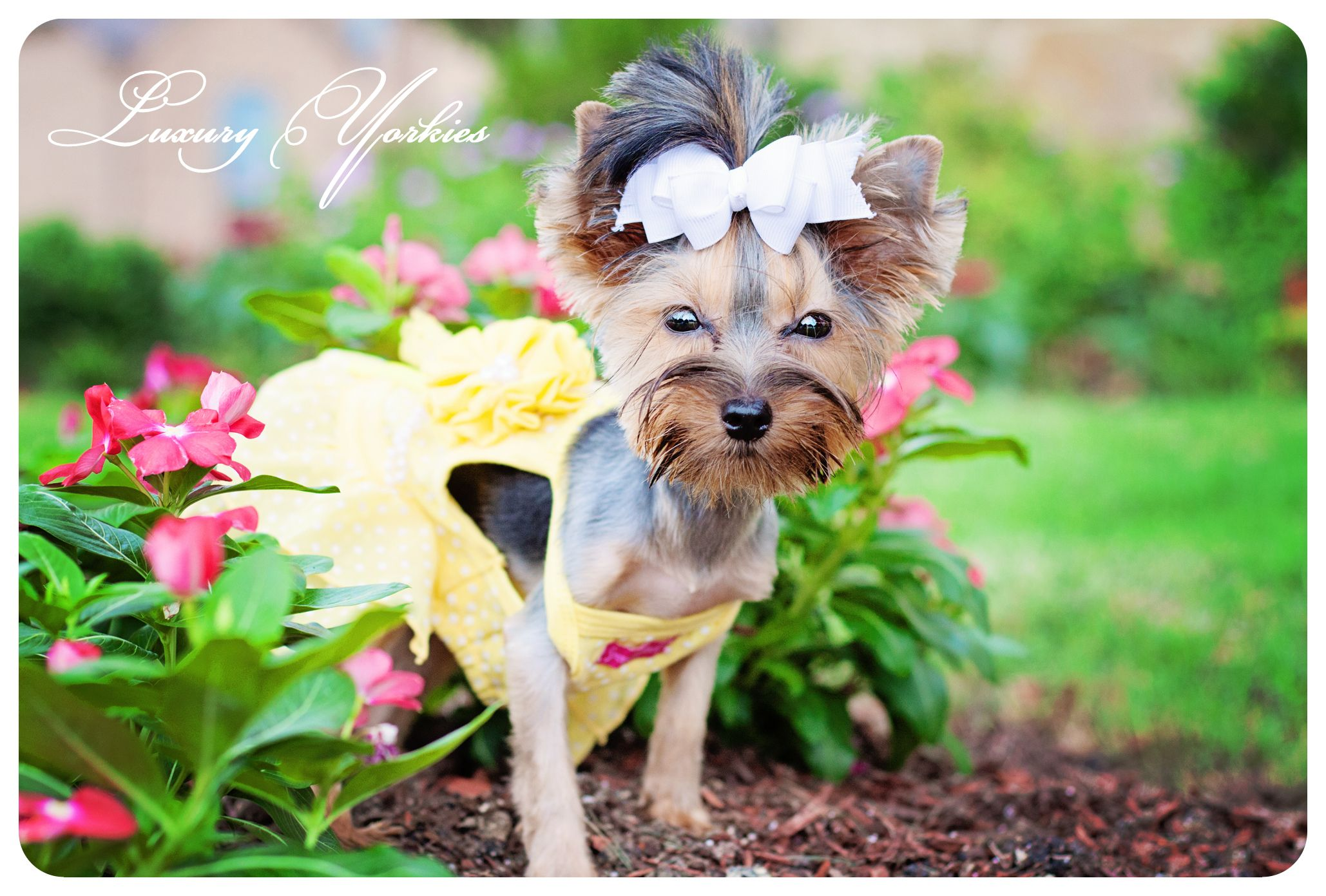 The One And Only Chloe From Luxury Yorkies Yorkie