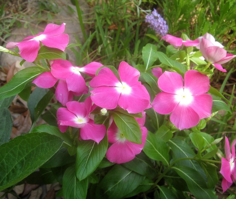 Vinca cora punch u z guide to summer annuals topiarius vinca cora punch izmirmasajfo Gallery