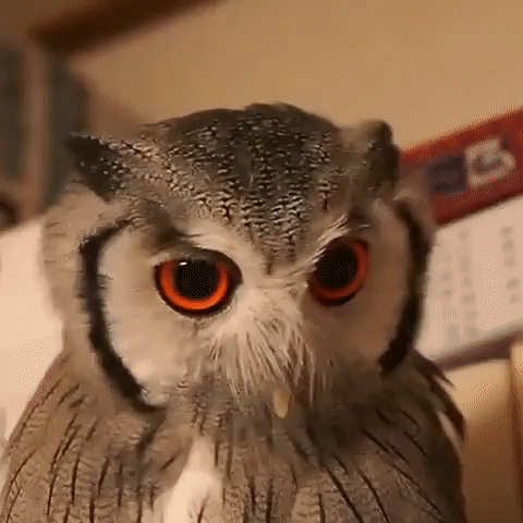 Facial Transform When a Northern White-Confronted Owl feels Threatened : extraordinary    #beautifull #lifehacks #photographs #photogrpahy #prettypictures