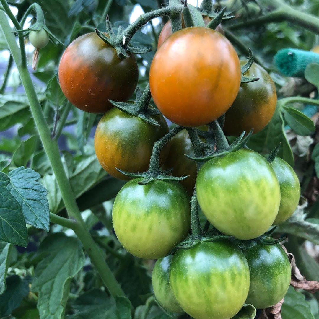 Wie Werden Tomaten Rot