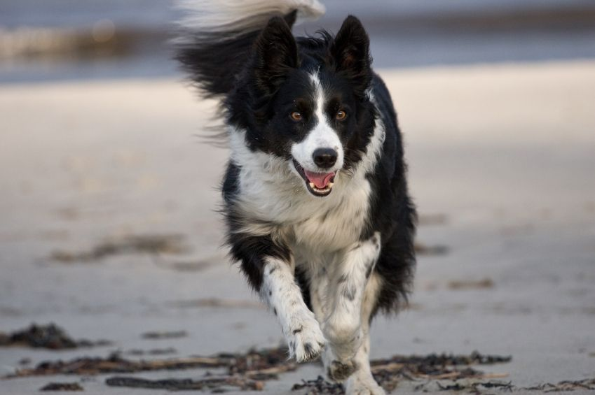 Border Collier Border Collie Dog Breed Health Border Collie