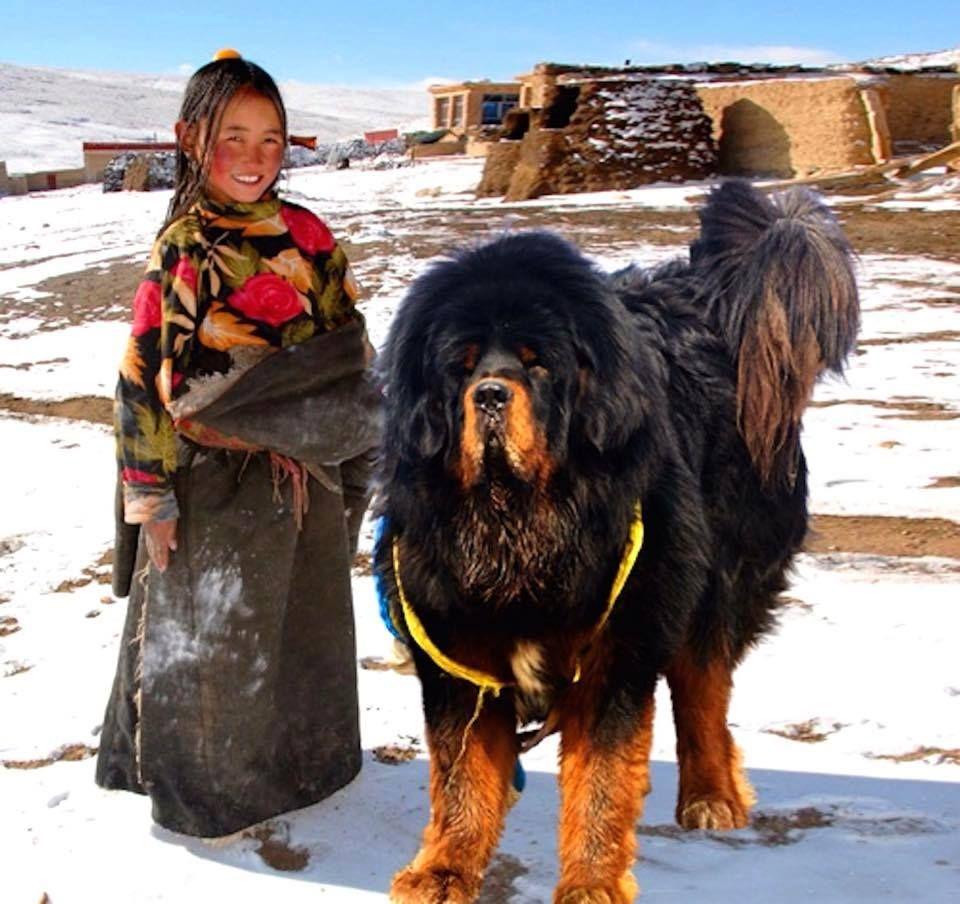 Dogue Du Tibet Tibetan Mastiff Via Lame Du Domonde