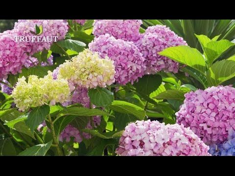 Comment Planter Un Hortensia Jardinerie Truffaut Tv Youtube Avec Images Planter Hortensia Jardinerie Truffaut Comment Planter