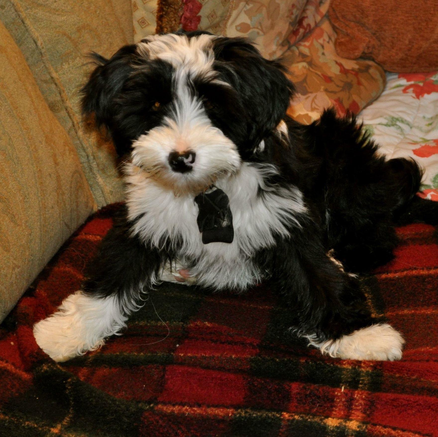 Izzy, Tibetan Terrier Puppy Pitbull terrier, American